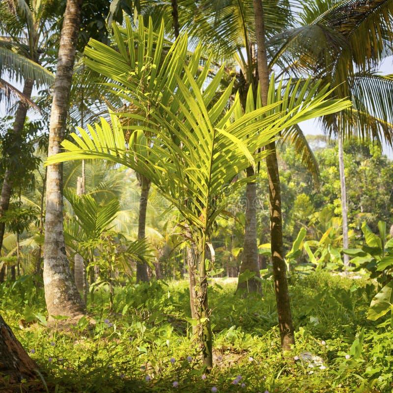 Пальмы на плантации стоковое фото rf