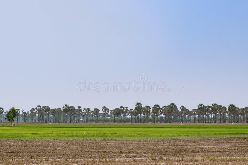 Пальмы сахара на поле в утре стоковые фотографии rf