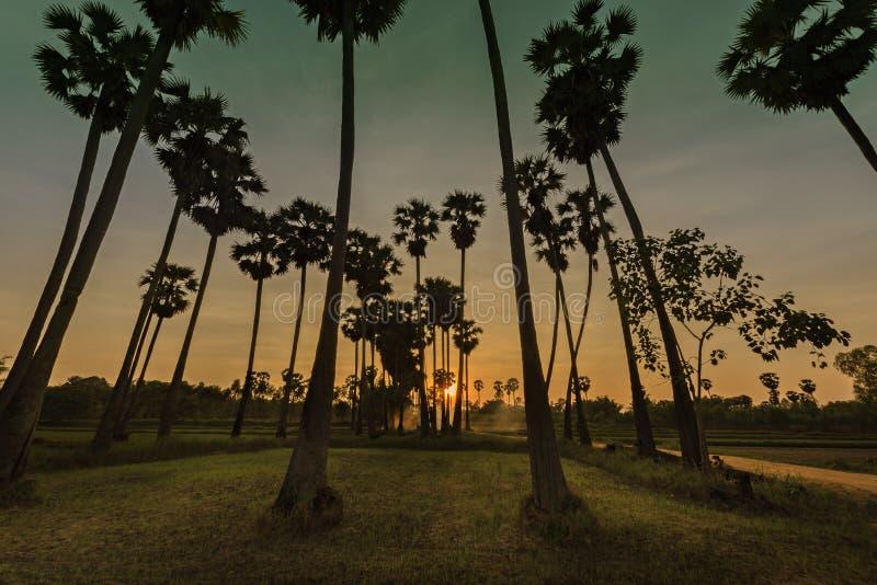 Пальмы сахара силуэта на сумерк стоковая фотография rf