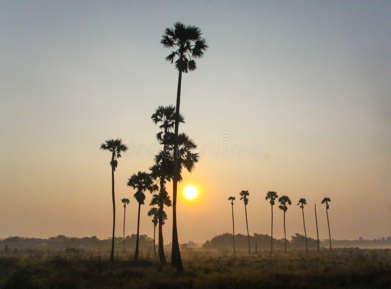 Пальмы сахара стоковые изображения rf
