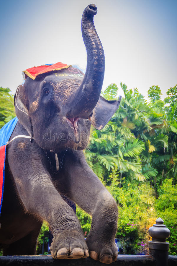 Пальцы ноги молодого слона стоящие и поднимать вверх хобот для приветствовать стоковое фото