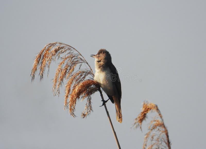 Певчая птица болота сидя на ветви стоковые изображения rf