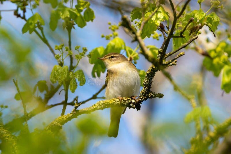 Певчая птица ( вербы; Phylloscopus trochilus) принятый в Великобританию стоковые фото
