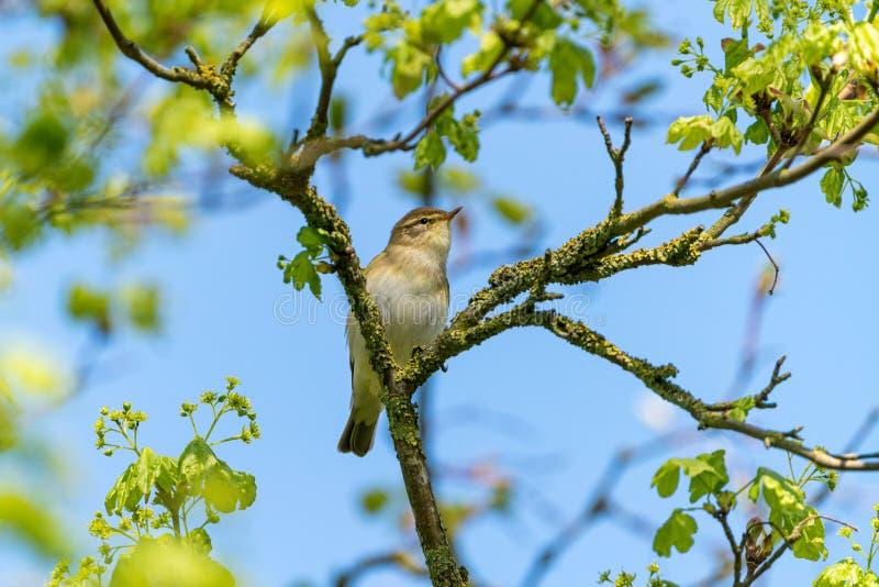 Певчая птица ( вербы; Phylloscopus trochilus) принятый в Великобританию стоковое фото