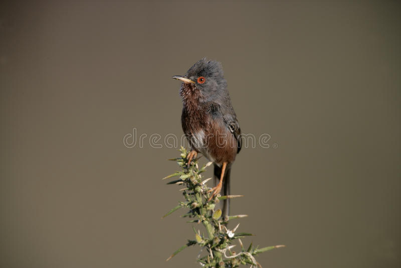 Певчая птица Дартфорда, undata Сильвии, стоковые изображения