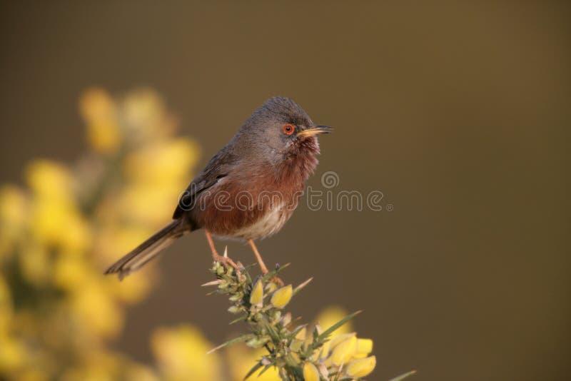 Певчая птица Дартфорда, undata Сильвии, стоковое фото
