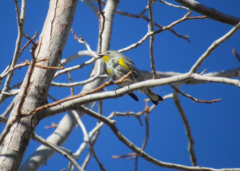 Певчая птица Калифорния желтая-rumped стоковые изображения rf