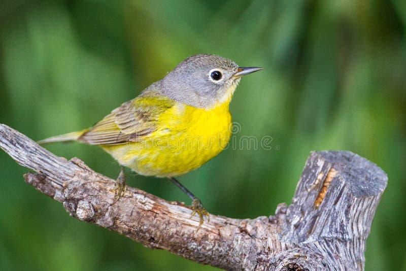 Певчая птица Нашвилла стоковые фотографии rf