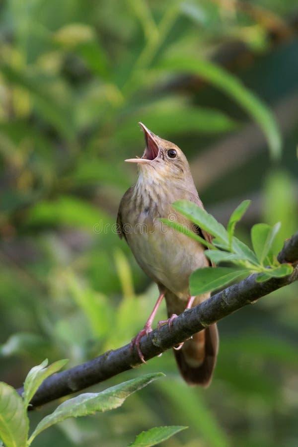 Певчая птица реки стоковые фотографии rf