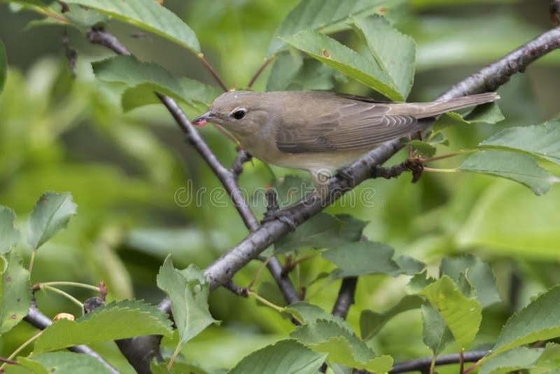 Певчая птица сада, птица borin sylvia стоковое изображение rf