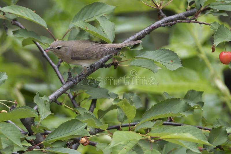 Певчая птица сада, птица borin sylvia стоковые изображения rf