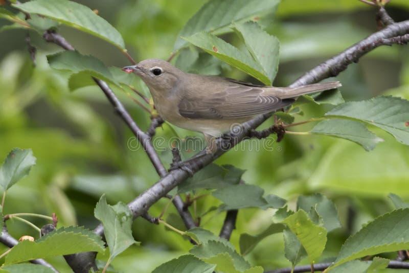 Певчая птица сада, птица borin sylvia стоковые изображения