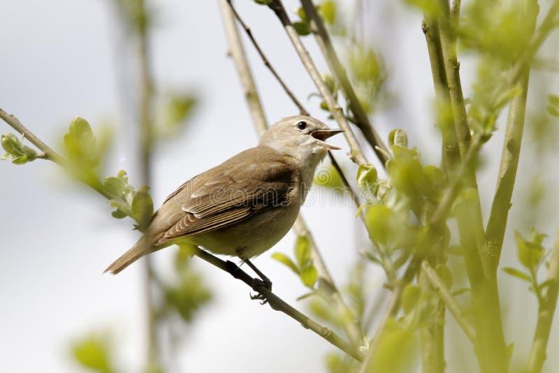 Певчая птица сада, borin Сильвии стоковая фотография