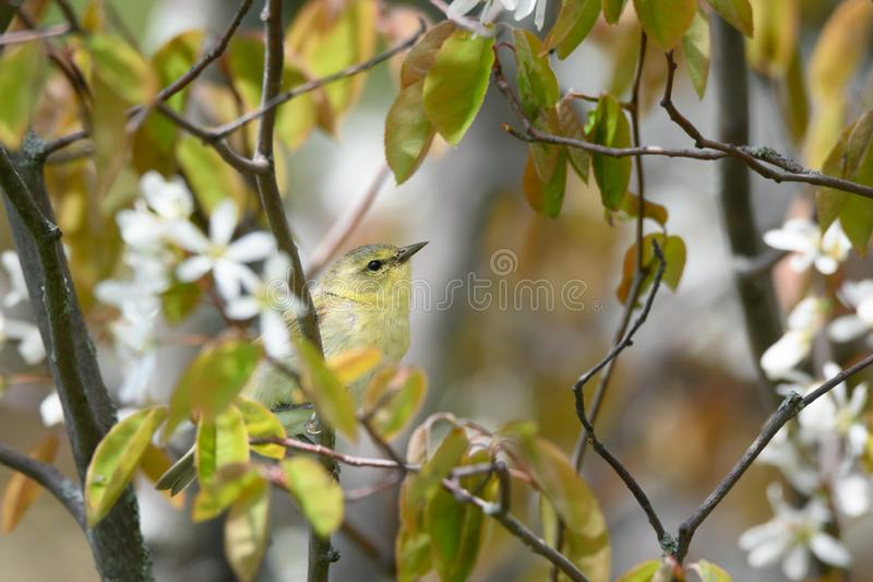 Певчая птица Теннесси в цветя ирге стоковая фотография