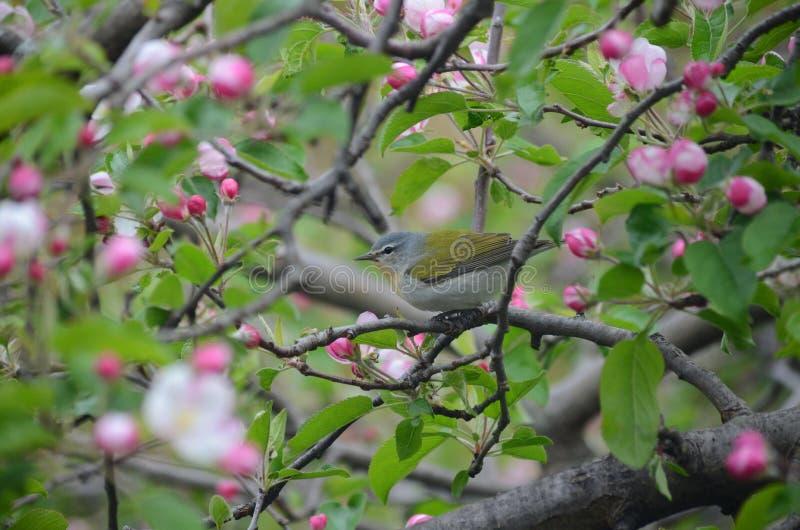Певчая птица Теннесси садить на насест среди цветений яблока стоковая фотография rf
