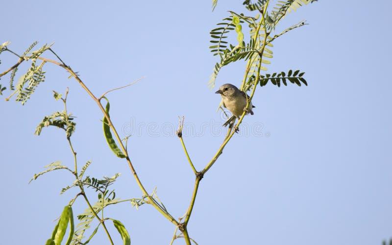 Певчая птица Lucys в дереве Mesquite, пустыне Tucson Аризоны стоковые изображения