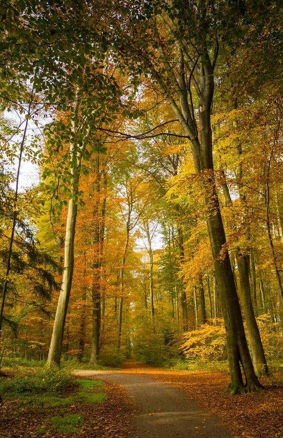 Пейзаж леса осени при лучи теплого света illumining листва золота и тропы водя в сцену стоковые изображения