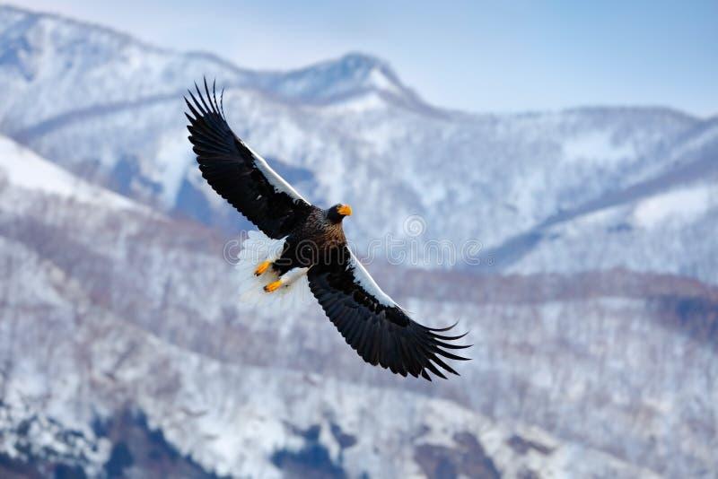 Пейзаж зимы горы с птицей Орел моря ` s Steller, летящая птица добычи, с голубым небом в предпосылке, Хоккаидо, Япония Орел w стоковое фото rf