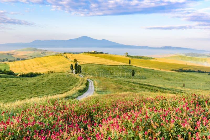 Пейзаж ландшафта рано утром Тосканы в Италии, с деревьями кипарисов и зеленым полем с красивыми цветами на лете стоковое фото