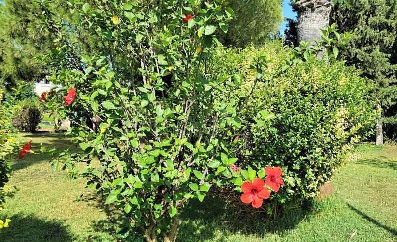 Пейзаж сада с цветками гибискуса в городе Kemer, Турции стоковые изображения rf