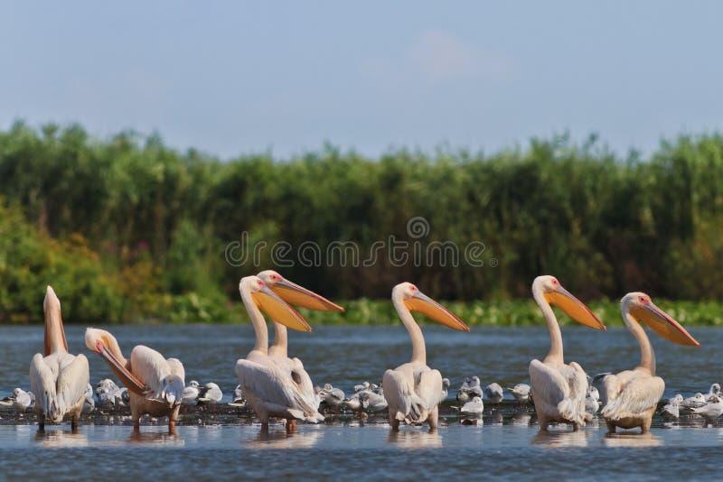 пеликаны белые стоковое изображение