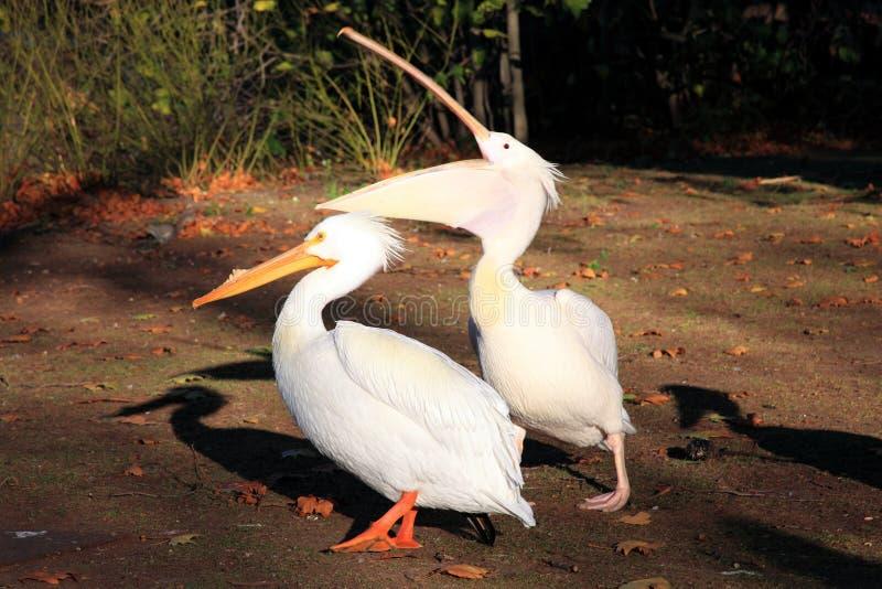 пеликаны белые стоковые фотографии rf