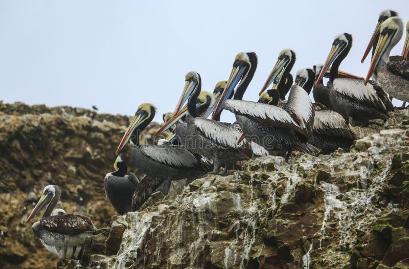 Пеликаны Брайна, остров Balestas, Перу стоковая фотография rf