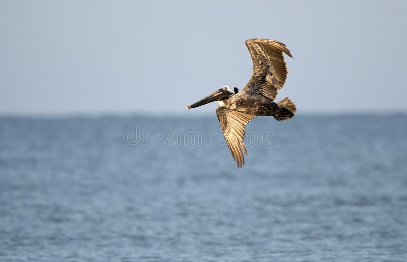 Пеликаны Брауна парящие над Атлантическим океаном стоковая фотография