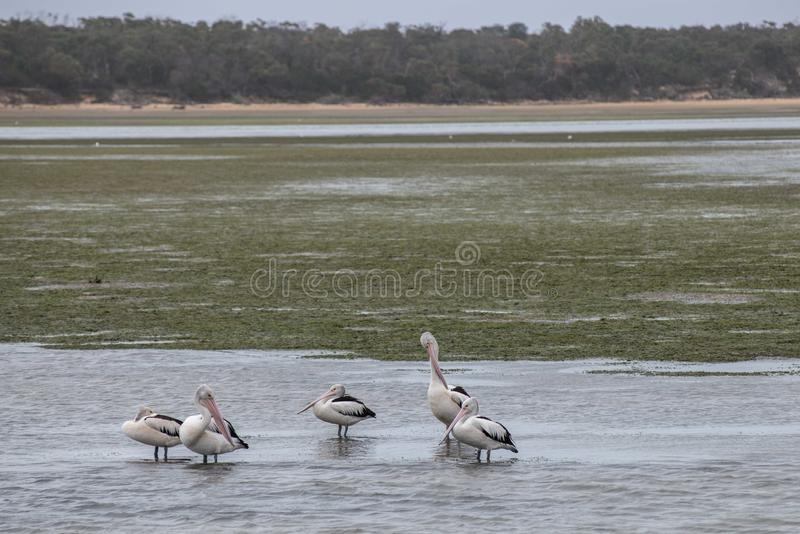 Пеликаны в водном пути стоковое фото rf
