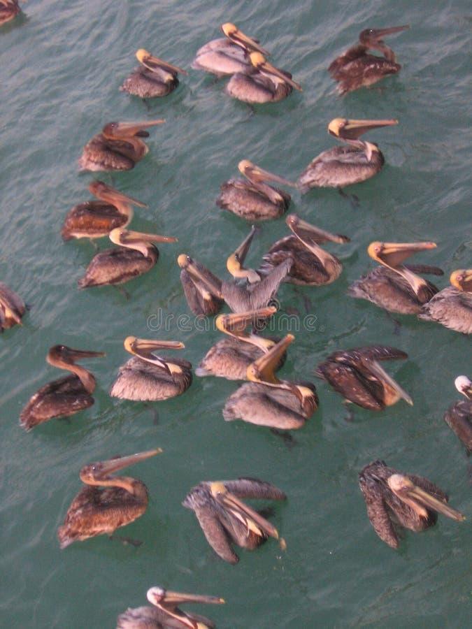 Пеликаны в Мексиканском заливе стоковые фотографии rf