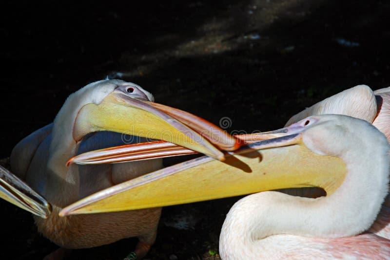 пеликаны интимности стоковые фотографии rf