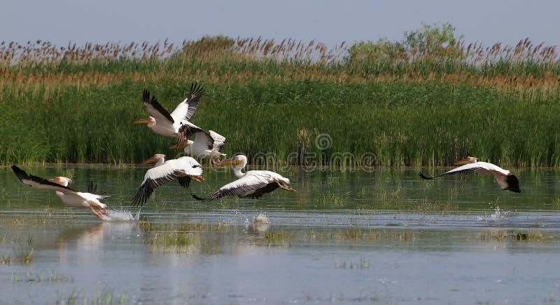 пеликаны летания стоковая фотография rf