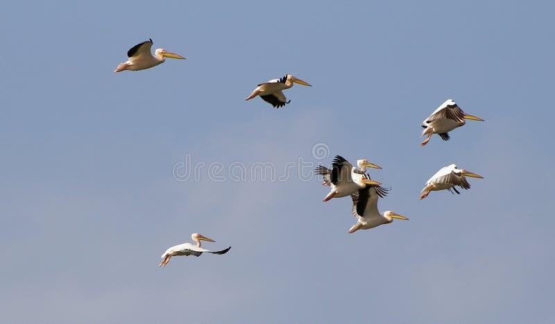 пеликаны летания стоковые изображения rf