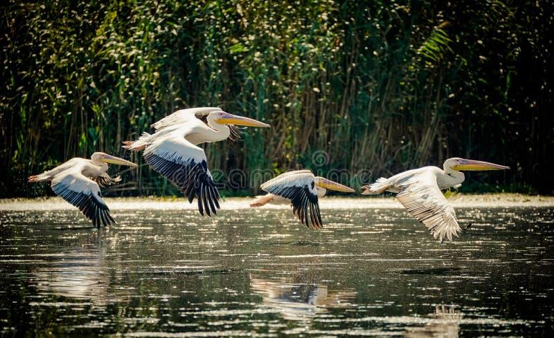 Пеликаны летая в перепад Дуная, Румыния стоковое фото rf