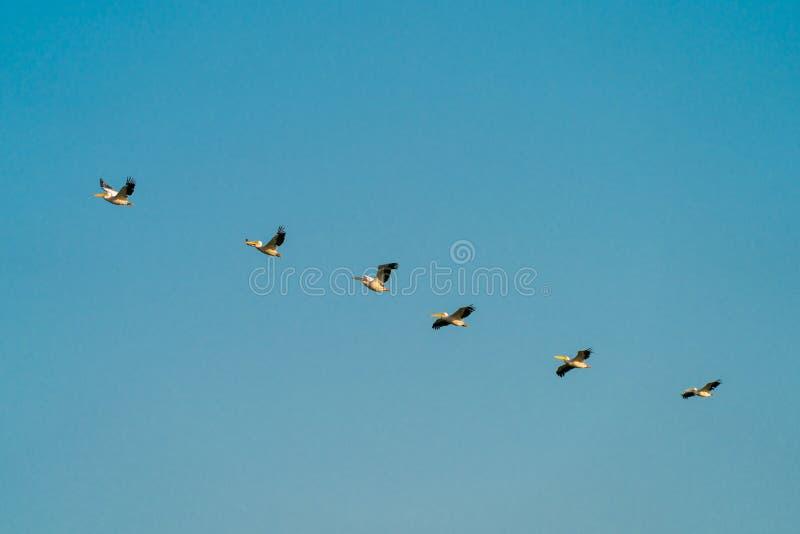 Пеликаны летая в перепад Дуная стоковое фото rf
