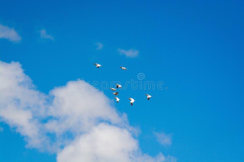 Пеликаны летая над Madatapa управляли запасом в горах около Ninotsminda, Грузии стоковая фотография rf