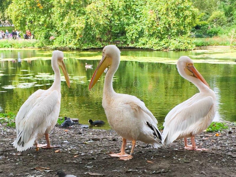 Пеликаны Лондона стоковое фото