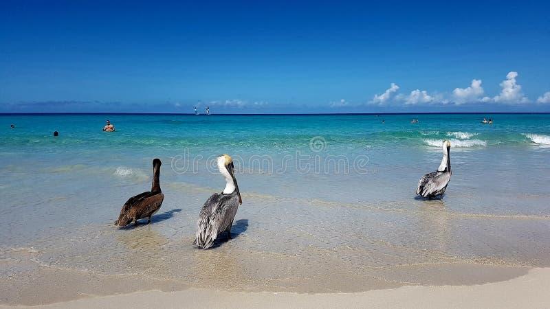 Пеликаны на пляже в городе Варадеро стоковые изображения rf
