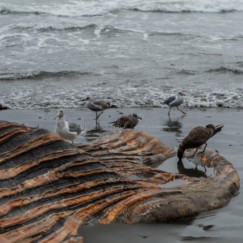 Пеликаны окружают мертвый труп кита на пляже стоковые изображения