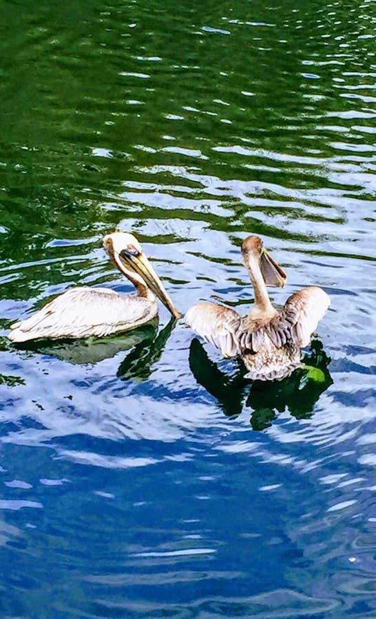 пеликаны парка пар avifauna нидерландские стоковые изображения