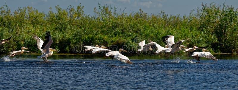 пеликаны перепада danube стоковые изображения rf