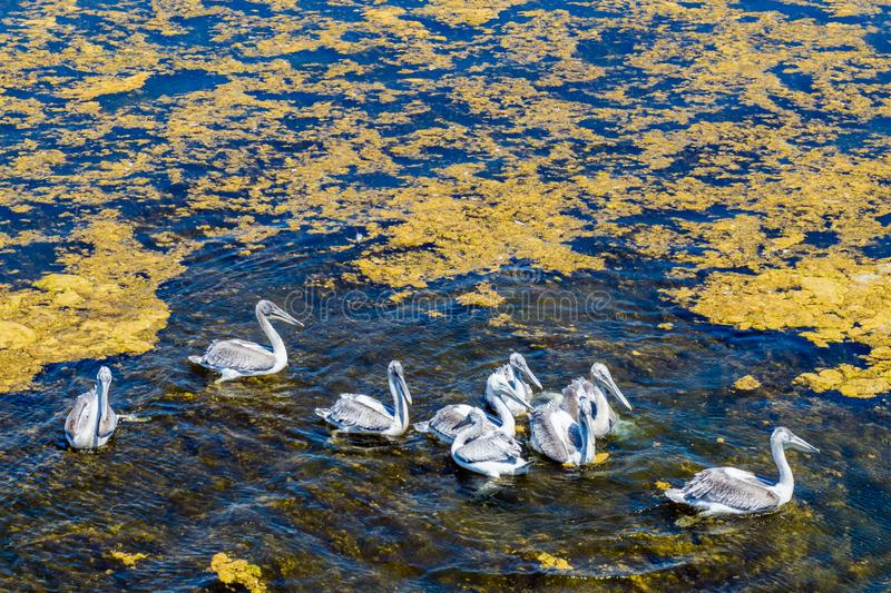 Пеликаны плавают в реке в России стоковое фото