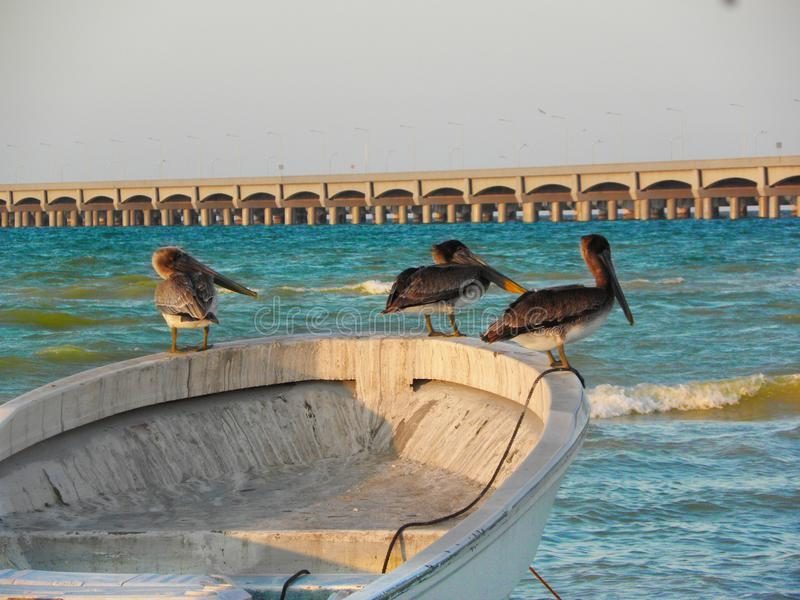 Пеликаны принимая остатки в шлюпке на пляж Progreso, Юкатан, Мексику стоковая фотография rf