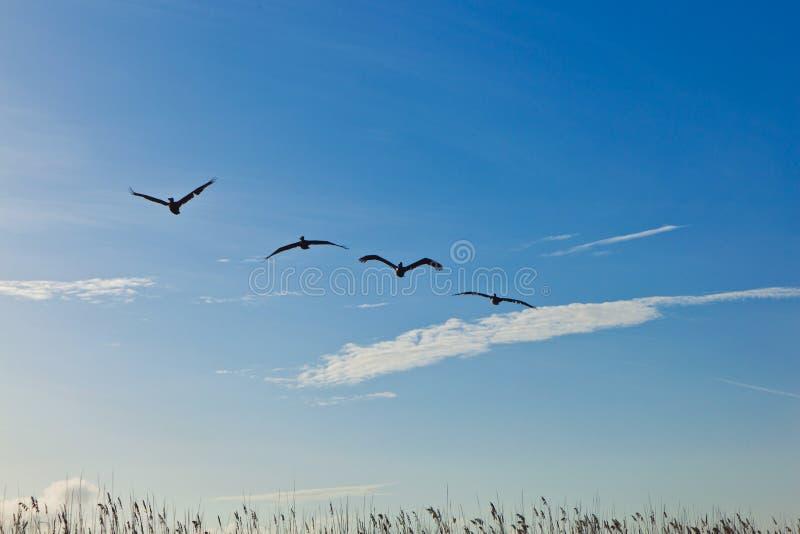 пеликаны стаи воздуха стоковые фото