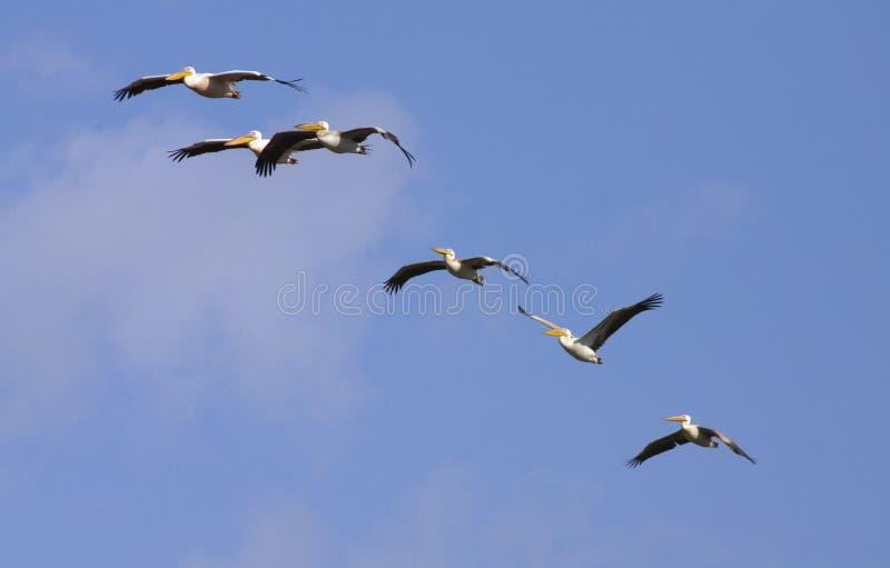 пеликаны стаи стоковое фото