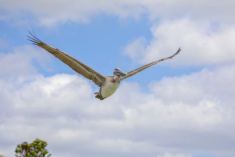 Пеликан Брайна в полете с крылами широкими раскрывает стоковое изображение rf