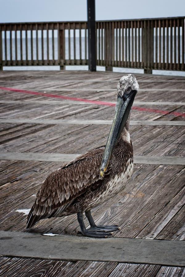 Пеликан в заливе подпирает AL стоковые изображения rf