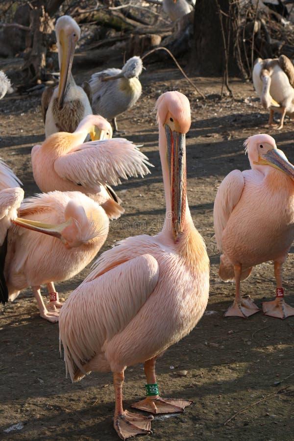 Пеликан в зоопарке стоковое изображение