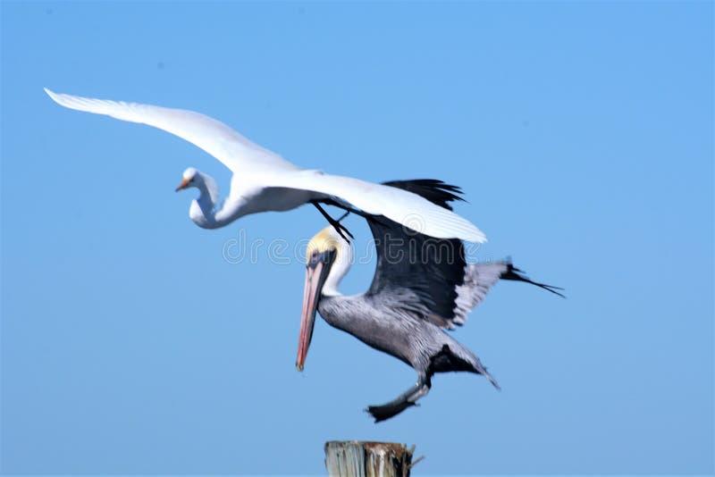 Пеликан и больший egret хотят, чтобы такой же космос садит на насест около залива стоковое фото