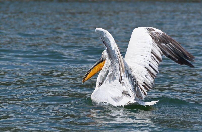 пеликан мухы подготовляя к стоковое изображение
